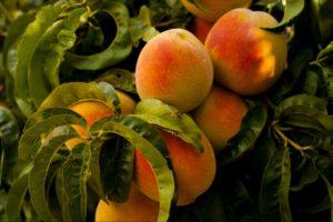 Peach Trees in Missouri