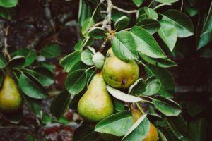 Pear Trees in Missouri