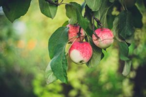 Apple Trees in Missouri