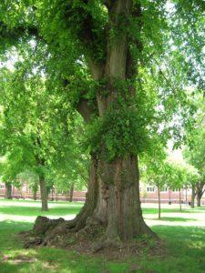Elm Tree Trunk