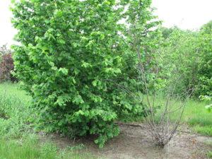 Hazelnut Tree in Missouri