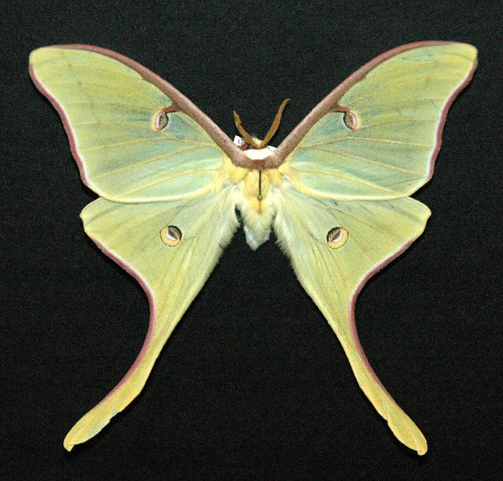 Luna Moths Love Sweet Gum Trees