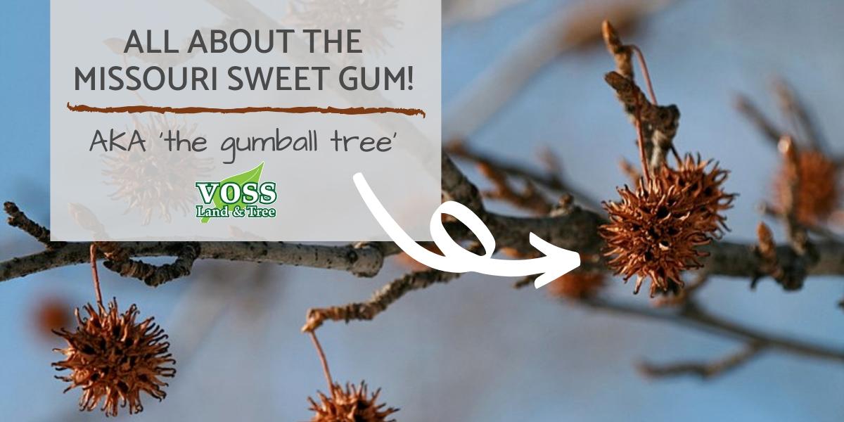 Spiky Ball Tree in Missouri Sweet Gum Tree